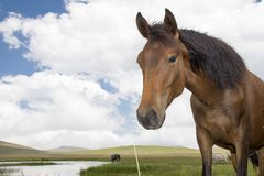 Basuto ponies in the Lesotho highlands. Royalty Free Stock Photography
