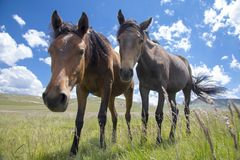 Basuto ponies in the Lesotho highlands. Stock Photo
