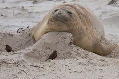Phoque d'éléphant femelle - Falkland Islands Images libres de droits