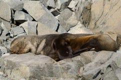 Phoque de fourrure antarctique dormant sur des roches Photo libre de droits