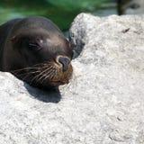 Phoque de fourrure dormant sur une roche Image libre de droits