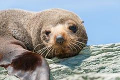 Phoque de fourrure du Nouvelle-Zélande se dorant dans la chaleur Photographie stock libre de droits