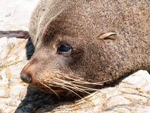 Phoque de fourrure du Nouvelle-Zélande se dorant dans la chaleur sur le rebord rocheux de littoral Photos stock