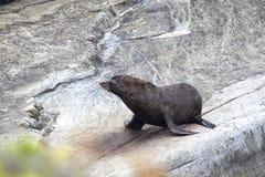 Phoque de fourrure du Nouvelle-Zélande (Arctocephalus Forsteri) Photo stock