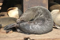 Phoque de mer prenant un bain de soleil le sommeil, Namibie Photos libres de droits
