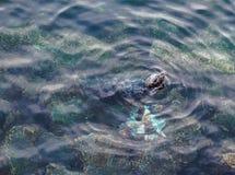Phoque mangeant le poulpe Pacifique géant Image libre de droits