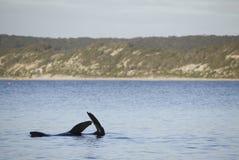 Phoque se dorant dans l'eau Photos libres de droits