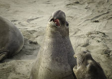 Phoques d'éléphant combattant sur la plage Photos libres de droits