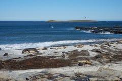 Phoques d'éléphant - Falkland Islands Photographie stock