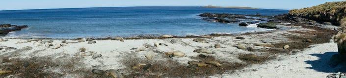 Phoques d'éléphant - Falkland Islands Photographie stock libre de droits