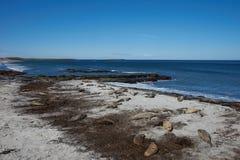 Phoques d'éléphant - Falkland Islands Photo libre de droits