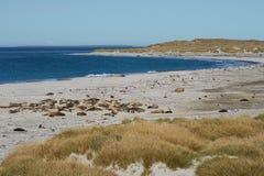 Phoques d'éléphant - Falkland Islands Image stock