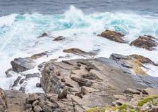 Phoques de fourrure, Cape Du Couedic, parc national de chasse de Flinders, Kangar Photographie stock libre de droits