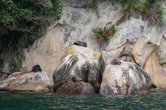 Phoques de fourrure se dorants en Abel Tasman National Park Photographie stock libre de droits