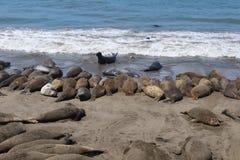 Phoques prenant un bain de soleil dans San Simeon, la Californie Photographie stock