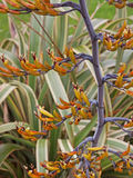 Phormium known as New Zealand Flax Royalty Free Stock Images