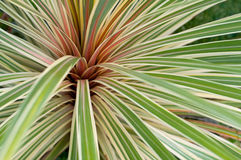 Phormium roślina Obrazy Royalty Free