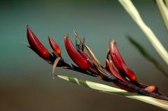 phormium Tenax kwiat Zdjęcie Stock