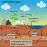 The phosphorus Cycle Stock Photos