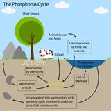 The phosphorus Cycle Stock Images