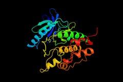 Phosphorylase b kinase gamma catalytic chain, skeletal muscle is Royalty Free Stock Image