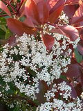 Photinia Obraz Royalty Free