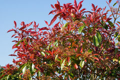 Photinia Bush. Against an blue sky background royalty free stock image