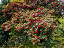 Photinia davidiana Leaves Turning Red Royalty Free Stock Photos