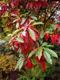 Photinia davidiana Leaves Turning Red Royalty Free Stock Images
