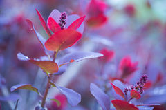 Photinia fraseri - Red Robin Stock Photo