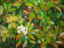 Photinia glabra shrub in bloom stock photography
