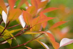 Photinia red Royalty Free Stock Images