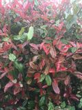 Photinia. Red leaf foliage plant. A red leafed shrub in a garden Stock Images
