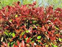 Photinia (Red Robin). Photinia commonly known as Red Robin, which is a flowering perennial evergreen shrub Stock Photography