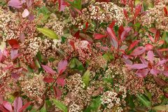 Photinia Red robin hedge with white flowers in spring garden stock image