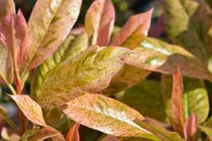 Photinia-Rosa knusperig lizenzfreies stockbild