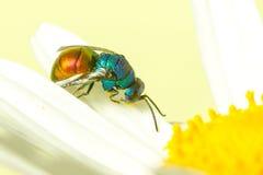 Photo étroite des guêpes de coucou ou des guêpes vertes Image stock