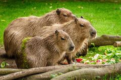 Photo of 3 Capybara Standing Near Wooden Branch and Grass Stock Photo