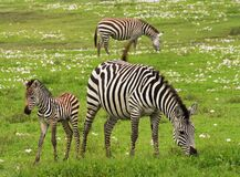 Photo of 3 Zebra on Green Grass Field Royalty Free Stock Photography