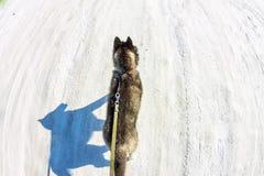Photo aérienne avec le chiot enroué de bourdon marchant sur une laisse Images stock