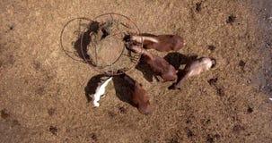 Photo aérienne des chevaux mangeant le foin dans un domaine sec l'été ensoleillé Photographie stock