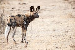 African Wild dog. Photo of an African wild dog in his natural habitat. The African wild dog - Lycaon pictus, also known as cape hunting dog, African hunting dog Stock Photos