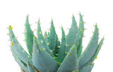 Photo of aloe plant Royalty Free Stock Images