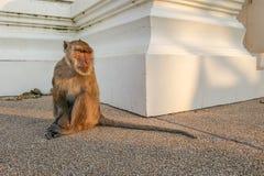 Alone monkey royalty free stock photos