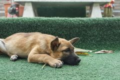 A alone stray dog puppy lay down on the ground royalty free stock image