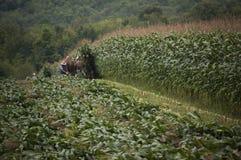 Amish farmer cutting corn crop harvest stock photos