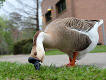 Angry goose eating bread at the park royalty free stock photography