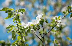 Photo of apple tree flowers on branch Royalty Free Stock Images