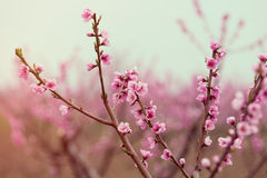 Photo of the apricot branches Stock Image