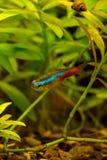 Photo of aquarium color fish on green natural background. Photo of aquarium tropical color fish on green natural background Stock Images